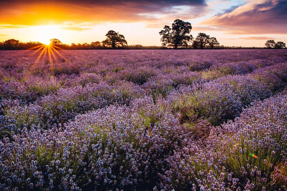 Lavender-Farm-Somerset